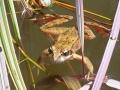 Red-legged frog (Rana aurora)