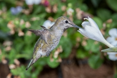 Female Anna's Hummingbird (Calypte anna) feeding at a Hosta flower