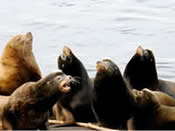 Steller's and California sea lions