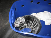 Rescued Seal Pups 2008