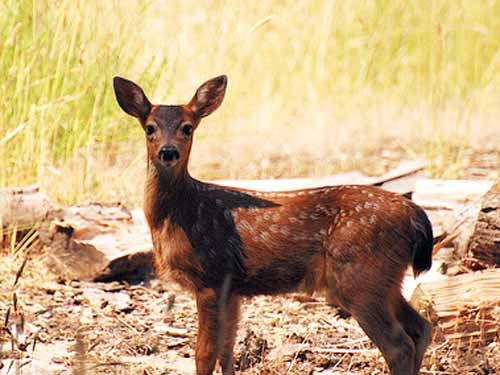 Black Tailed Deer
