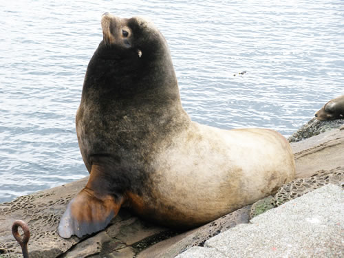 California sea lion - foreheads have distinctive bony ridge and light fur patch