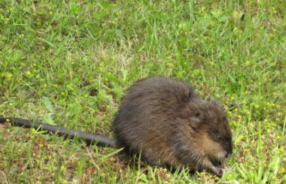 Muskrat-Photograph by Brian Hoag