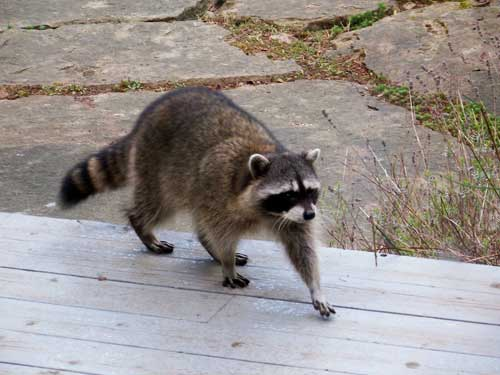Racoons Growls