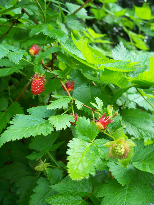 Salmonberry Fruit