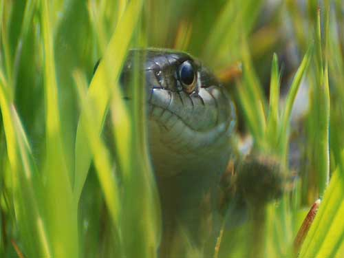 Gartner Snake in the Grass.