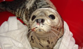 Another Seal Pup Saved