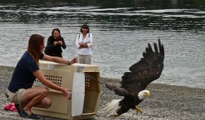 Injured Mudge Island Eagles Released