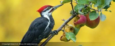male_pileated_woodpecker