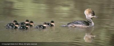 meganser_ducks_and_chicks
