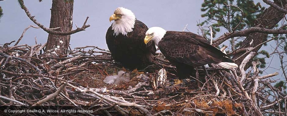 nesting_bald_eagle_pair