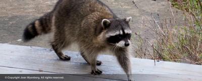 raccoon-jean-wyenberg
