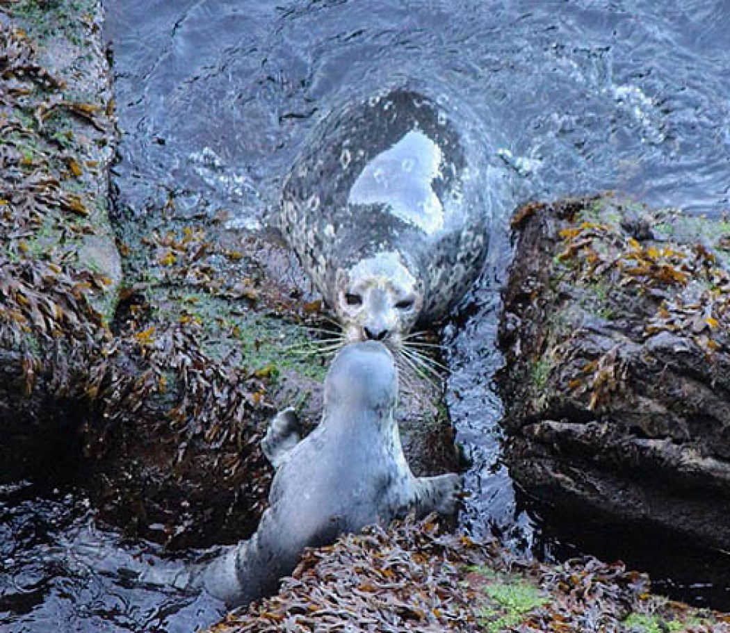 SEAL PUPS ARE COMING