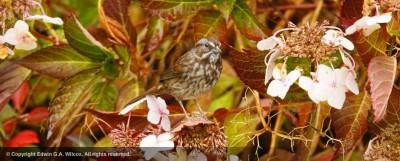 song_sparrow