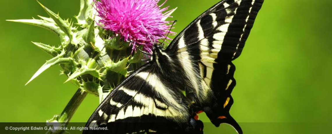 western_tiger_swallowtail