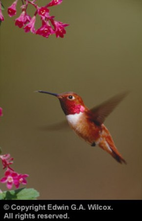 wilcox-rufous-hummingbird-male-flight