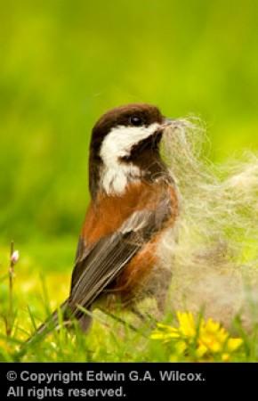 wilcox-sparrow-01